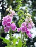 Digitali selvatiche in tonalità del rosa e del bianco Fotografie Stock