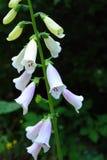 Digitalisów kwiaty Zdjęcia Royalty Free