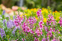 Digitalis λουλούδι Foxglove στον κήπο Στοκ εικόνες με δικαίωμα ελεύθερης χρήσης