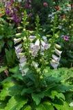 Digitalis λουλούδι Foxglove στον κήπο Στοκ Φωτογραφία