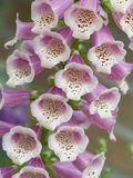 Digitalis Stock Afbeeldingen