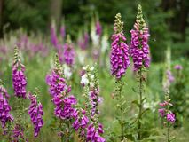 Digitalis. Blooming in the woods stock images