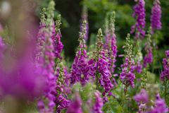 Digitalis. Blooming in the woods stock photography