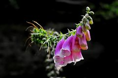 Digitalis. Detail of a digitalis pink flower. The top of the foxglove is illuminated by sun, on the dark background royalty free stock photo