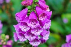 Digitalis flower. Beautiful digitalis flower in garden stock photo