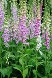 Digitalis flower Plant Royalty Free Stock Image