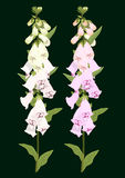 Digitalis flowers on dark green Stock Photos
