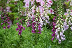 Digitalis flowers. Digitalis includes Digitoxin,Which is effective in heart failure royalty free stock photos
