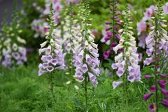 Digitalis flowers. Digitalis includes Digitoxin,Which is effective in heart failure stock photo