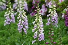 Digitalis flowers. Digitalis includes Digitoxin,Which is effective in heart failure stock image
