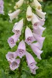 Digitalis flowers. Digitalis includes Digitoxin,Which is effective in heart failure stock images