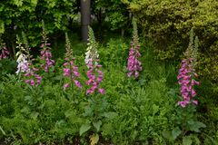 Digitalis flowers. Digitalis includes Digitoxin,Which is effective in heart failure royalty free stock photo