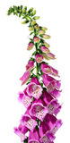 Digitalis Royalty Free Stock Photos