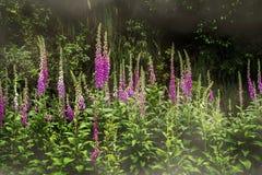 Digitalis flowers Digitalis purpurea stock photography