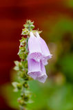 Digitalis foxglove purple glove flower plant bloom bell like Royalty Free Stock Photography