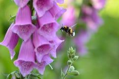Digitalis Foxglove purpurea Στοκ Φωτογραφία