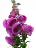 Digitalis grandiflora Royalty Free Stock Photo
