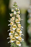 Digitalis lanata - woolly foxglove. Flowering Digitalis lanata - woolly foxglove Royalty Free Stock Image