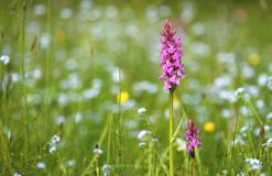 Digitalis on meadow Royalty Free Stock Photos