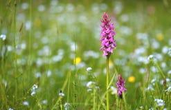 Digitalis on meadow. Pink digitalis on spring meadow royalty free stock photos