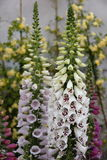 Digitalis plant Royalty Free Stock Images