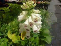 Digitalis purpurea 'Dalmatian White' Stock Images
