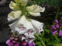 Digitalis purpurea 'Dalmatian White' Stock Photo