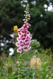 Digitalis purpurea Royalty Free Stock Images