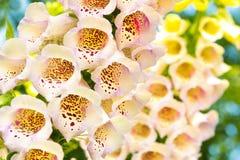 Digitalis purpurea. Beautiful poisonous high flowering Bush Digitalis purpurea stock photo