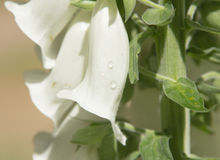 Digitalis purpurea bianco Olanda del fiore della digitale Fotografia Stock Libera da Diritti