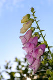 Digitalis purpurea blooming flower, Common purple foxglove Stock Photos