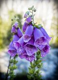 Digitalis purpurea in chilean patagonia stock photography