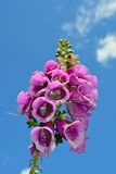 Digitalis purpurea common foxglove. In wales in the middle of summer Stock Photo