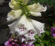 Digitalis purpurea 'Dalmatian White' Royalty Free Stock Photography