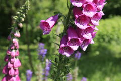Digitalis purpurea or foxglove. Pink digitalis purpurea or foxglove flowers in the wind in the countryside garden royalty free stock photo