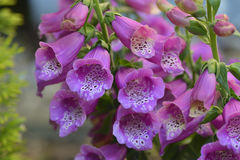 Digitalis purpurea Royalty Free Stock Photo