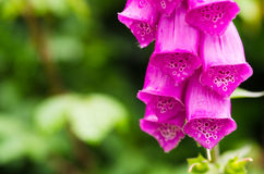 Digitalis purpurea Stock Photo