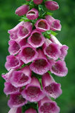 Digitalis (vingerhoedskruidpurpurea) Stock Foto