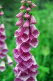digitalisfoxglovepurpurea Royaltyfri Fotografi