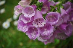Digitalispurpurea, klockformiga blommor Arkivbild