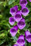 Digitalispurpureaen blommar mer nära blick Royaltyfri Bild