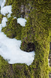 Digitally altered texture mossy barkwinter forest tree. Digitally altered texture mossy bark on winter forest tree with snow background Royalty Free Stock Photos