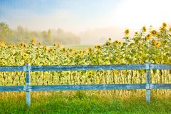 Digitally enhanced image of sunflowers, Stowe Vermont, USA. stock image