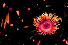 Digitally enhanced macro photo of purple aster - orange with black background and orange flecks Royalty Free Stock Images
