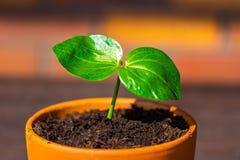 Digitata-S?mling Adansonia Name des jungen Baobab w?chst lateinischer im Topf Gr?nes Blatt der exotischen Anlage, die nat?rlich a stockfotografie