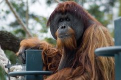 Is This Dignified?. An Orangutang looks at me royalty free stock image