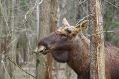 Dignified. Early spring. In the elk male begin to grow new antlers. These protrusions on his forehead define the beginning of growth. Over the summer, they grow Stock Photo