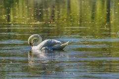 A dignified swan is swimming on a pond royalty free stock photo