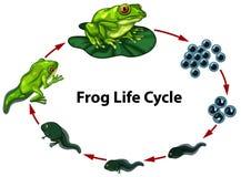 Digram do ciclo de vida da rã ilustração royalty free