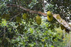 Джекфрут, Ла Digue, Сейшельские островы Стоковые Изображения RF